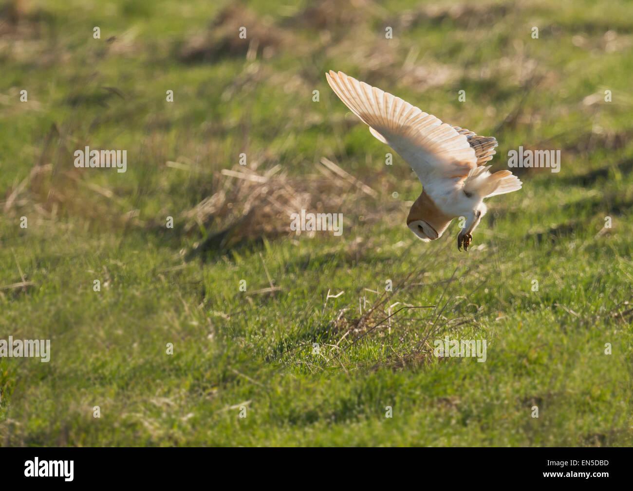 Wild Barn Owl Tyto Alba diving on unsuspecting prey, Gloucestershire - Stock Image