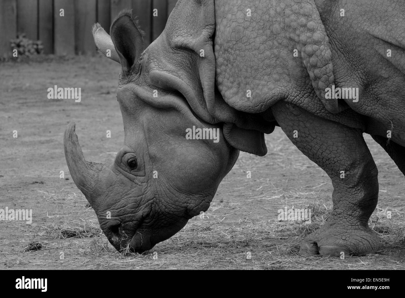 Black and white photo of a rhino - Stock Image