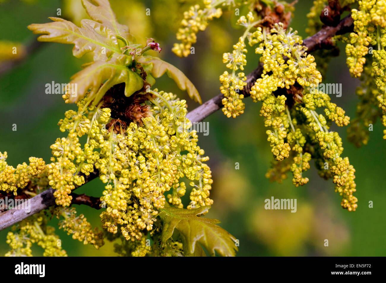 English oak, Quercus robur - Stock Image