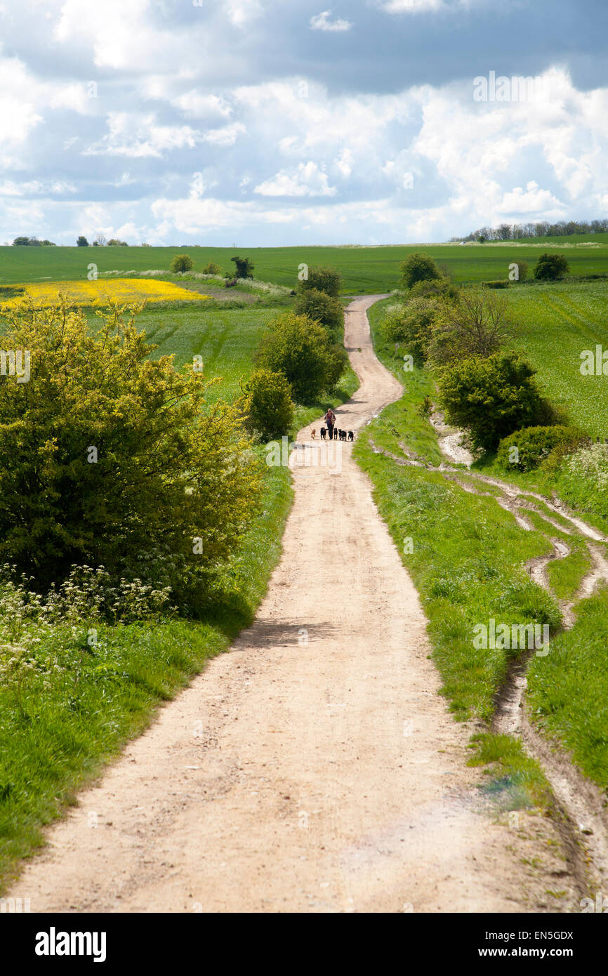 Woman running exercising her dogs on chalk downland on Roundway Down, Devizes, Wiltshire, England, UK - Stock Image