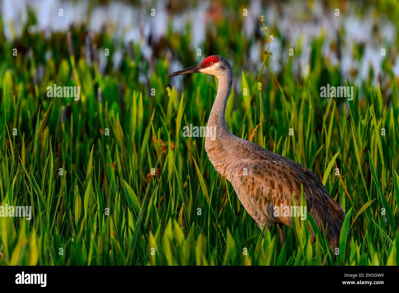 sandhill crane, viera wetlands - Stock Image