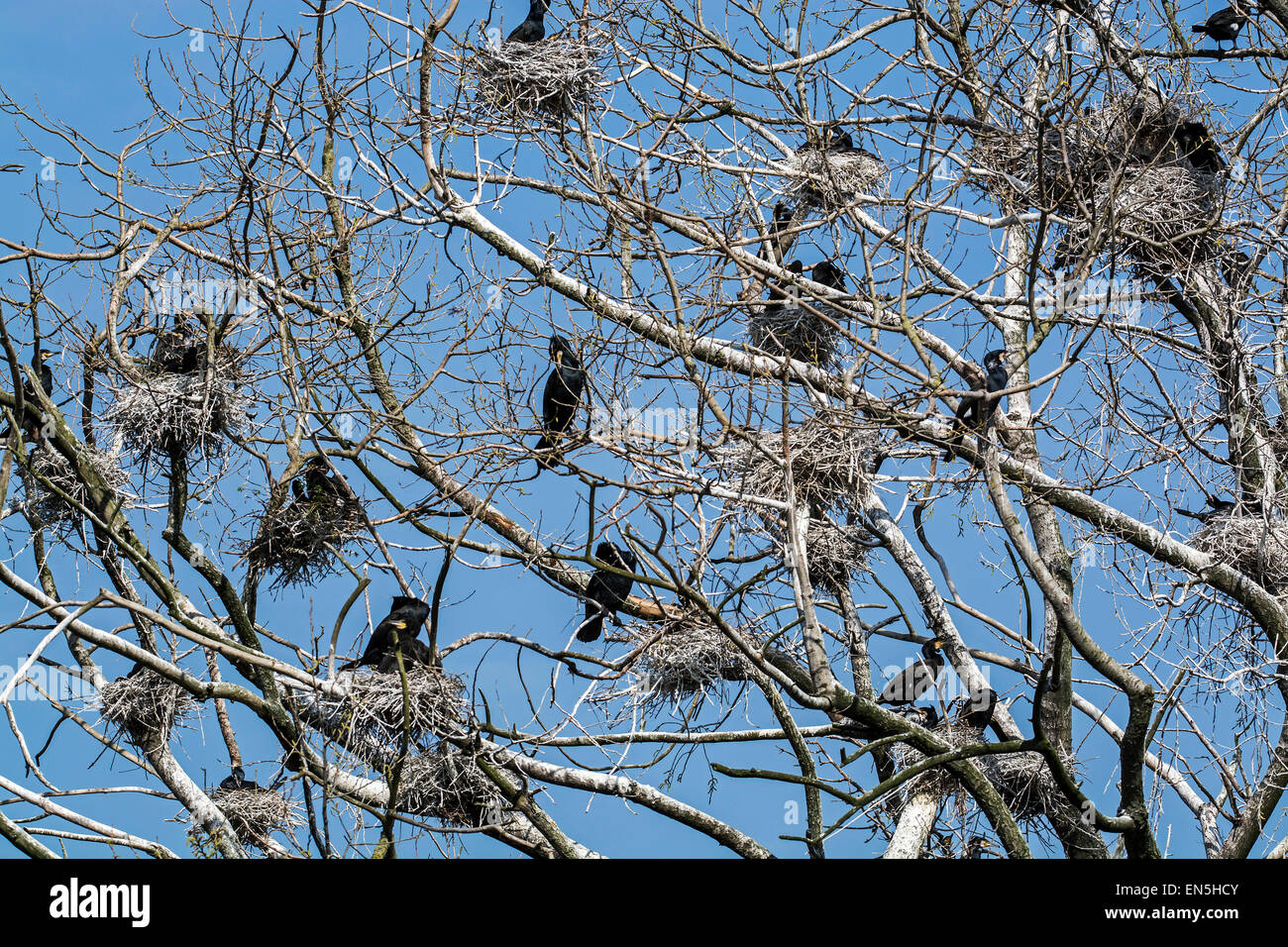 Colony of great cormorants (Phalacrocorax carbo) nesting in dead tree in spring - Stock Image