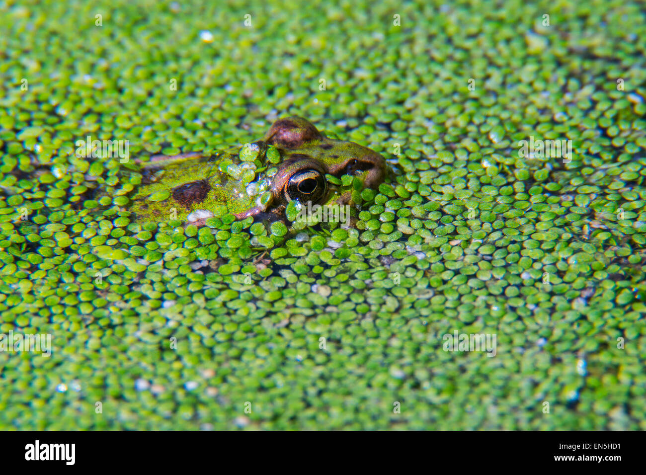Edible frog (Pelophylax kl. esculentus / Rana kl. esculenta) covered in duckweed in pond - Stock Image