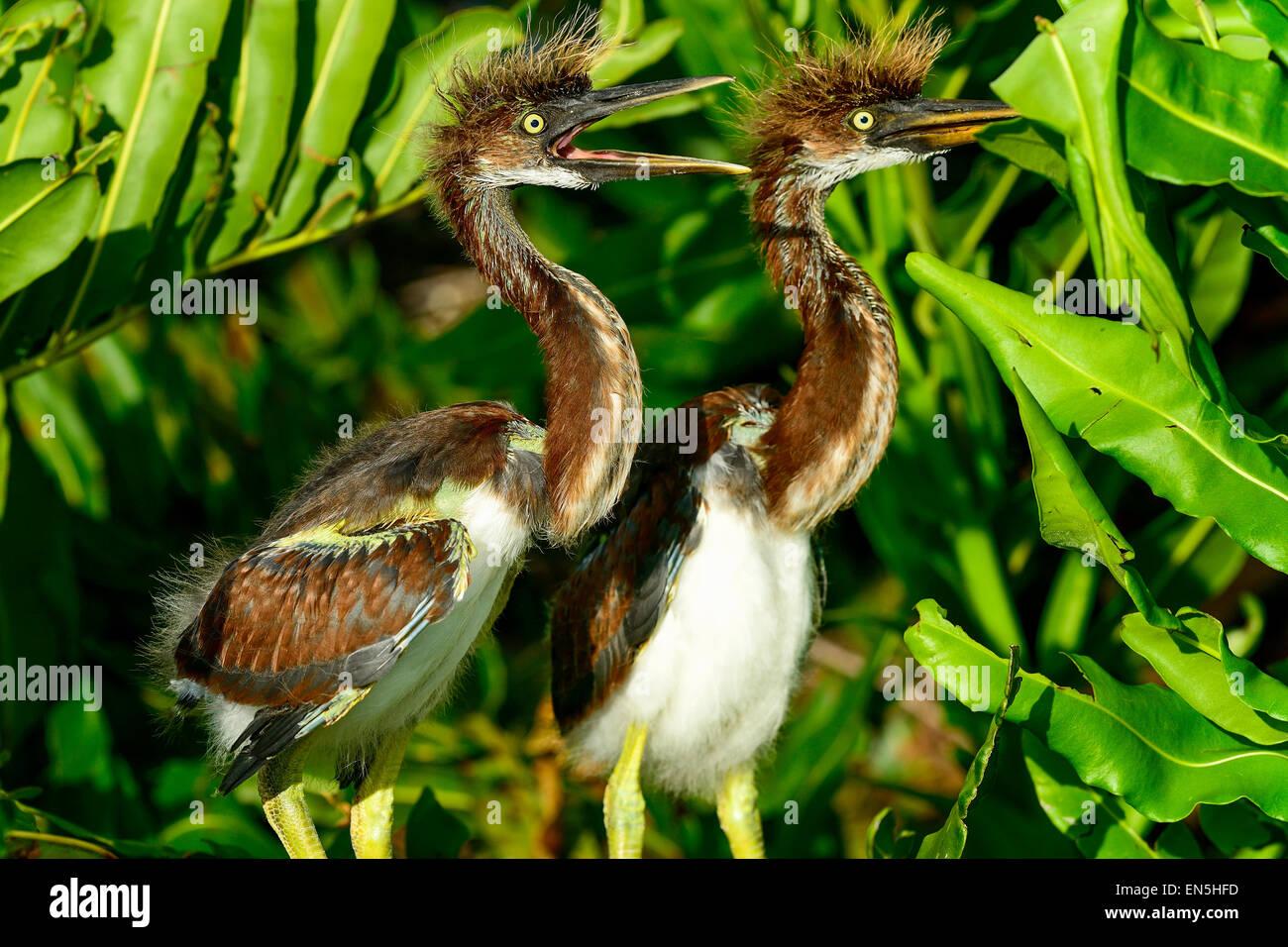 tricolored heron, wacodahatchee wetlands - Stock Image