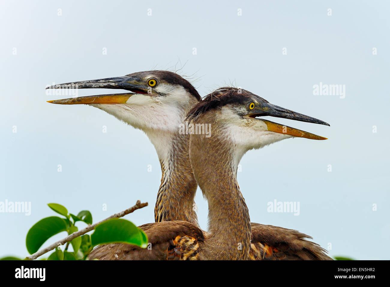 great blue heron, wacodahatchee - Stock Image