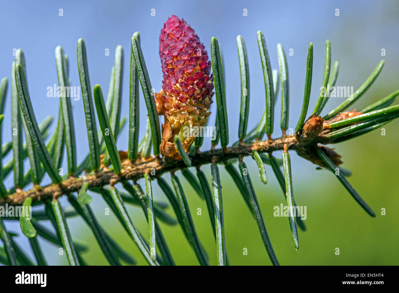 European silver fir (Abies alba) close up of male flower and needles - Stock Image