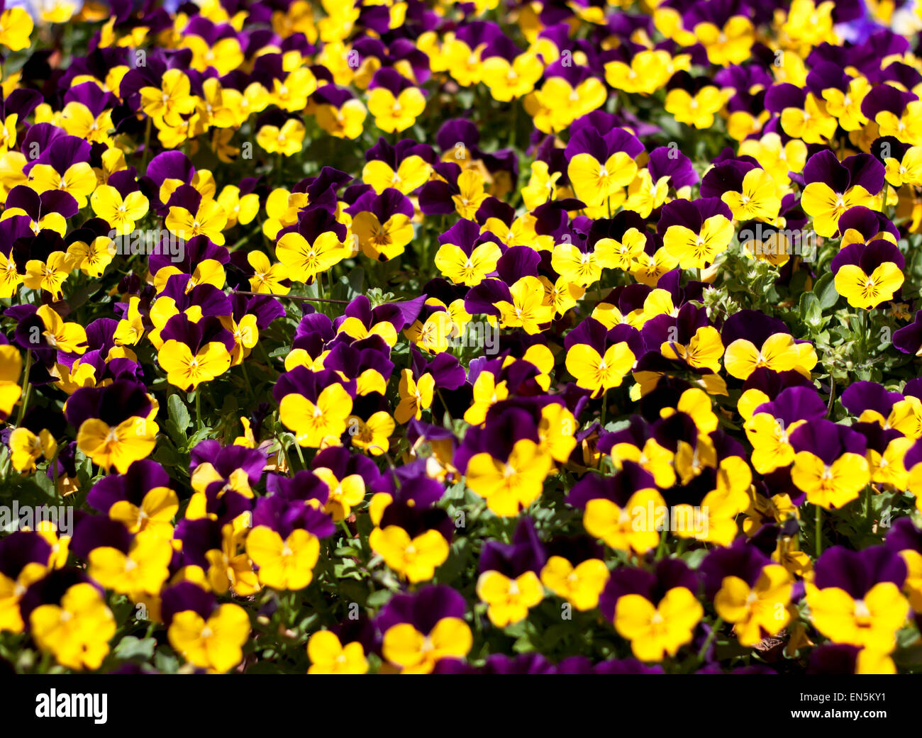 viola tricolor pansy  flower bed bloom in the garden - Stock Image