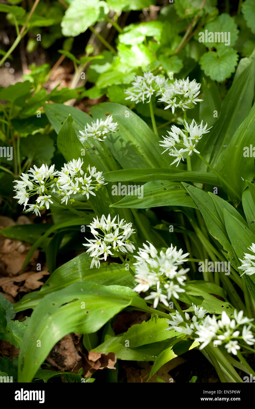 white flowers and leaf of garlic - Stock Image