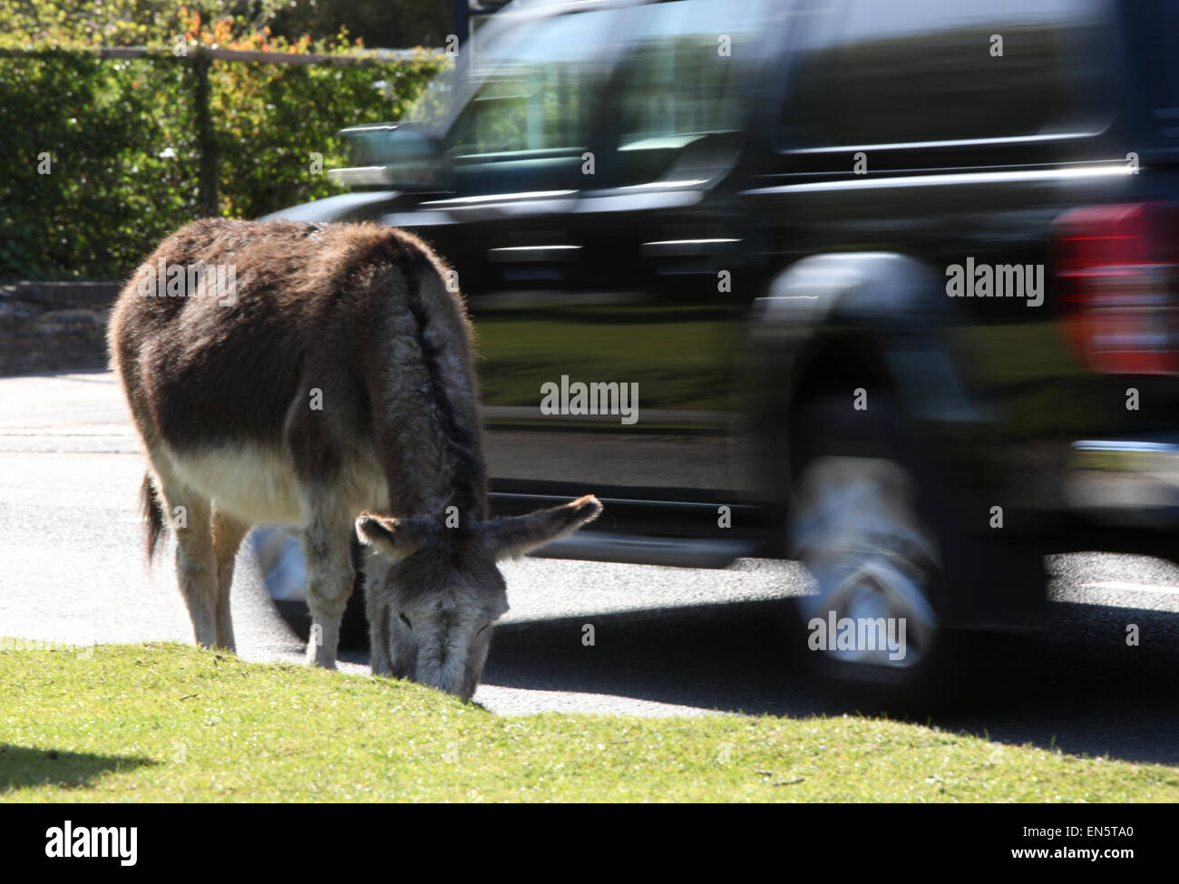 Donkey by the roadside in Beaulieu in the New Forest Hampshire UK - Stock Image