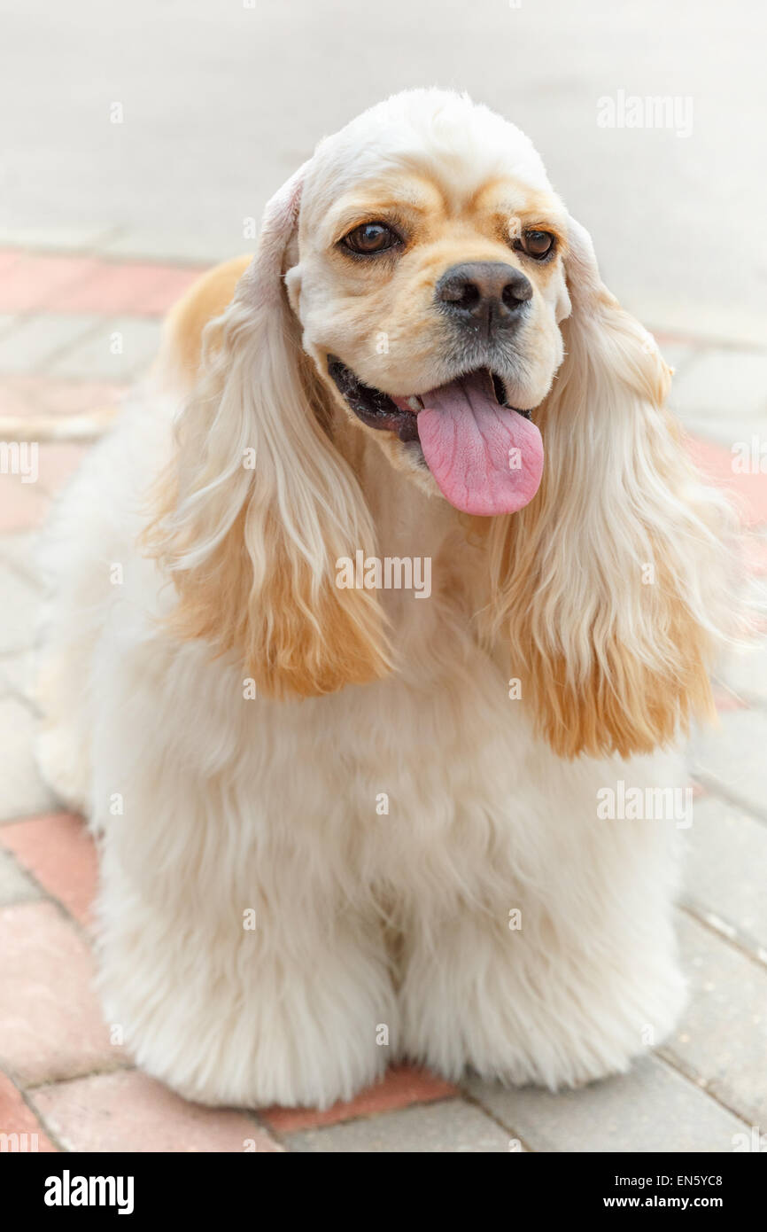 Cute smiling dog breed American Cocker Spaniel - Stock Image