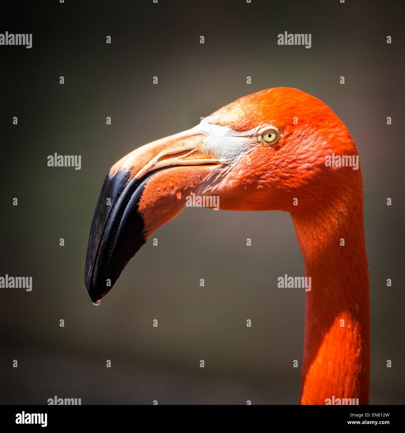 American flamingo profile portrait - Stock Image