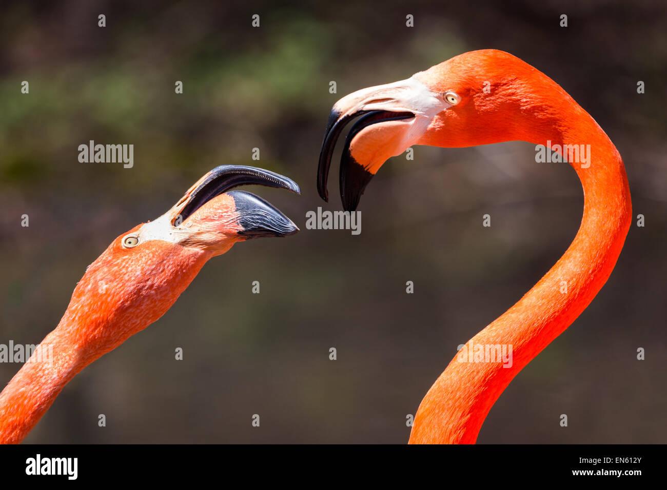 Couple of American Flamingos fighting. - Stock Image