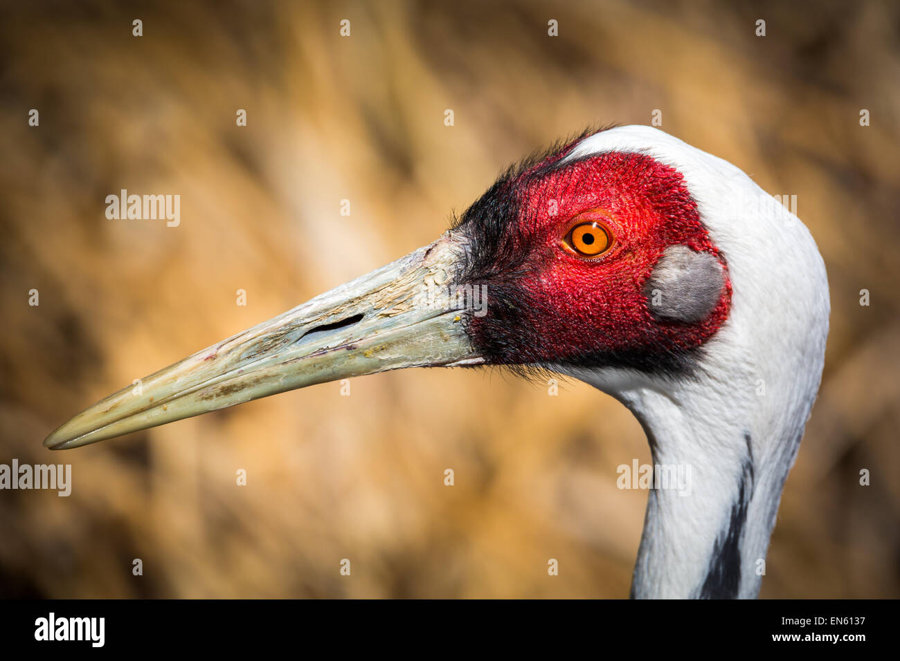 Portrait of male Sarus Crane. The Sarus Crane (Grus antigone) is the tallest flying bird. - Stock Image