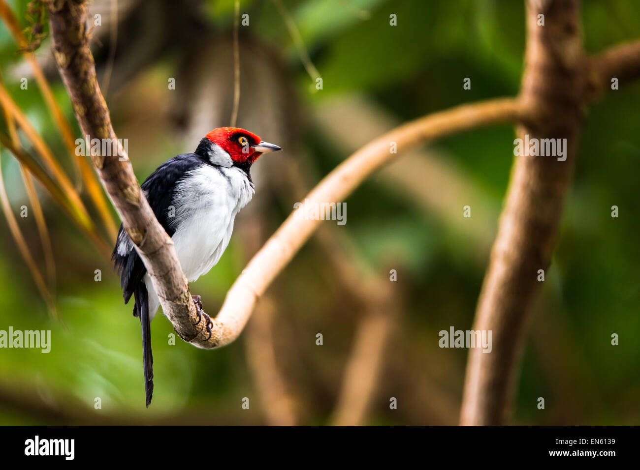 Red-capped cardinal perched on a rainforest branch. The red-capped cardinal (Paroaria gularis) is a small South - Stock Image