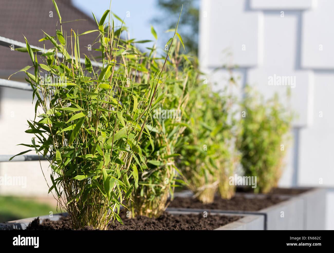Fargesia Stock Photos & Fargesia Stock Images - Alamy