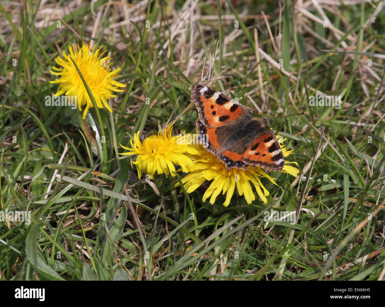 Small Tortoiseshell butterfly on Dandelions - Stock Image