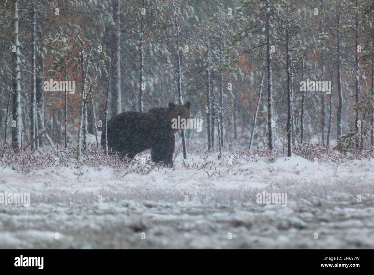 Brown bear, Ursus arctos walking in forest in snow storm with birches in yellow autumn colors, Kuhmo, Finland - Stock Image