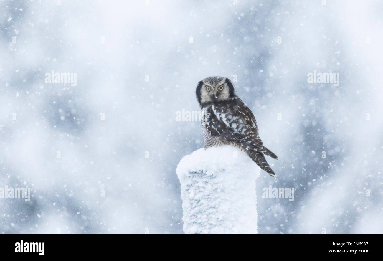 Northern Hawk-Owl, Surnia ulula, Sitting on a telephone pole in snow storm, looking into camera, Gällivare, - Stock Image