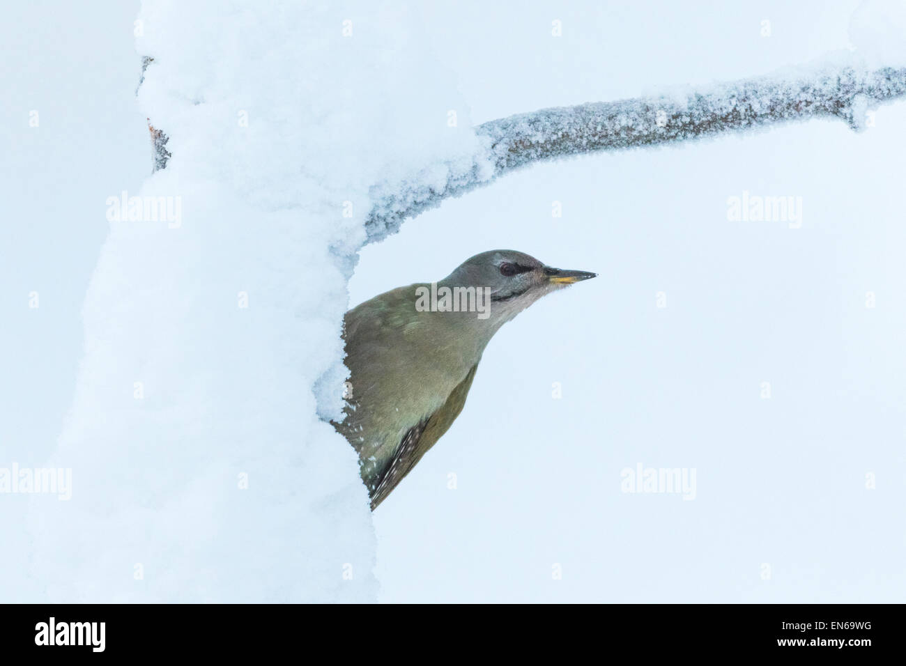 Grey-headed woodpecker, Picus canus, sitting on old tree with snow, Gälivare sweden - Stock Image