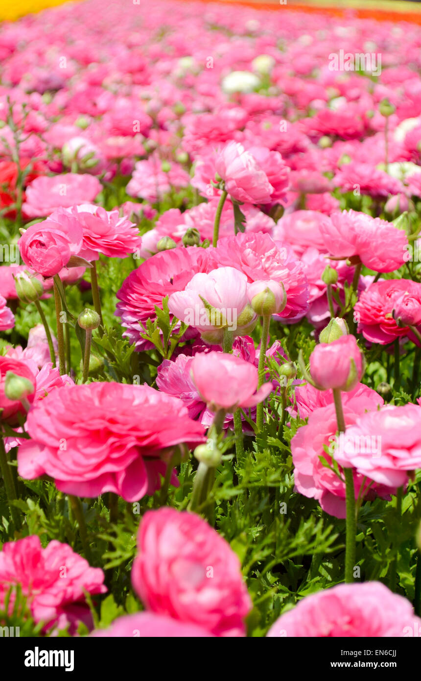 A Field Of Pink Cultivated Buttercup Ranunculus Flowers For Export