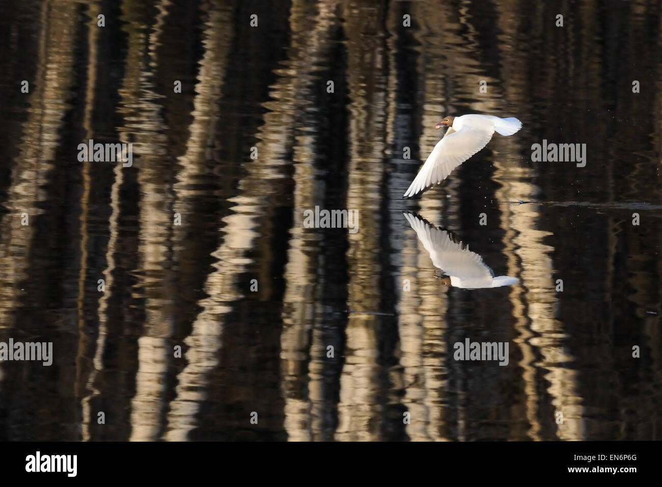 Flying Black-headed gull over the pond with rich environment reflection texture - Stock Image