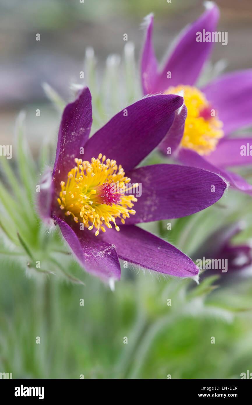 Pulsatilla Vulgaris Grandis. Pasque flower - Stock Image