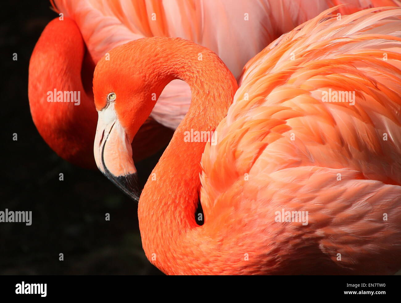 American or Caribbean flamingo ( Phoenicopterus ruber), closeup of the head, another one in the background Stock Photo