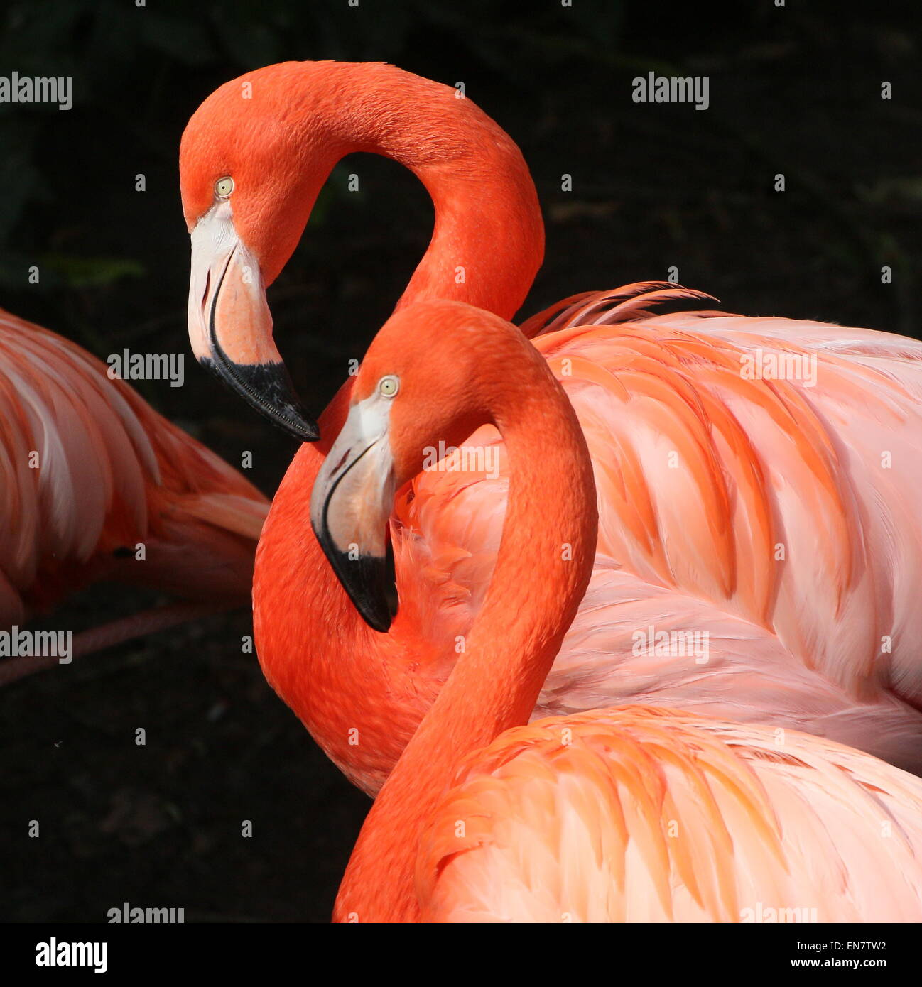 Double portrait of two American or Caribbean flamingos ( Phoenicopterus ruber), closeup of the head - Stock Image