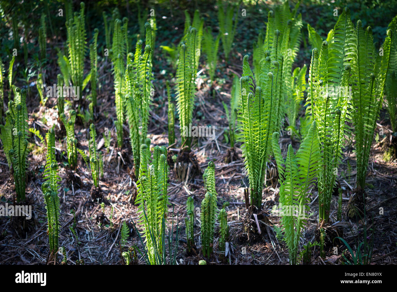 Matteuccia Struthiopteris (shuttlecock fern) coming into growth at Sheffield botanical gardens. - Stock Image