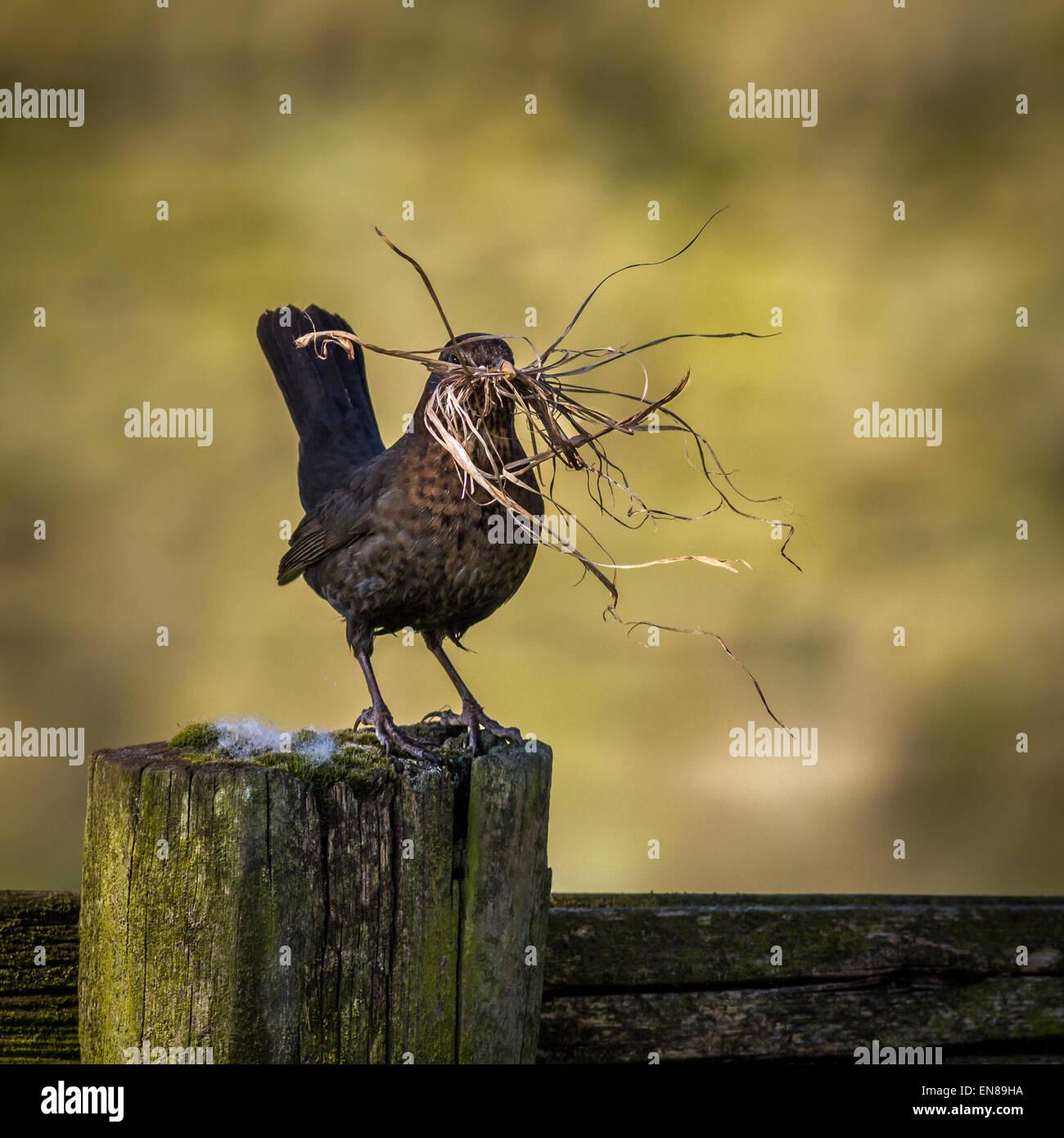 Female blackbird with a beak full of nesting material, Yorkshire, UK - Stock Image