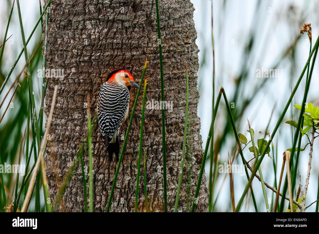 red-bellied woodpecker, viera wetlands - Stock Image