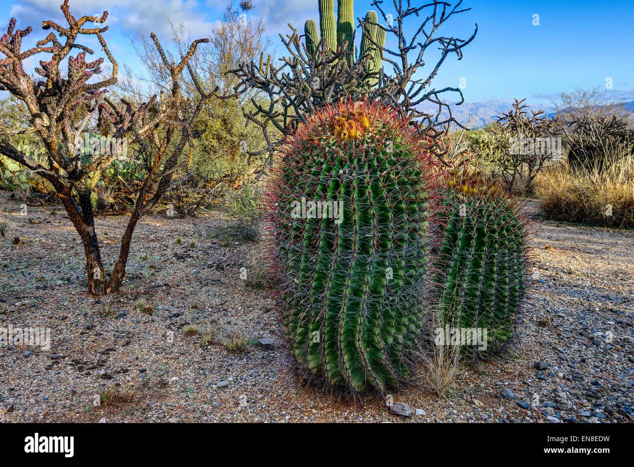 fishhook barrel cactus, saguaro national park, az - Stock Image