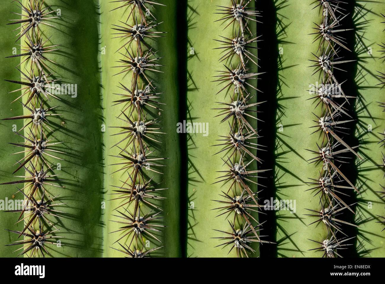 saguaro spines,  saguaro national park, az - Stock Image