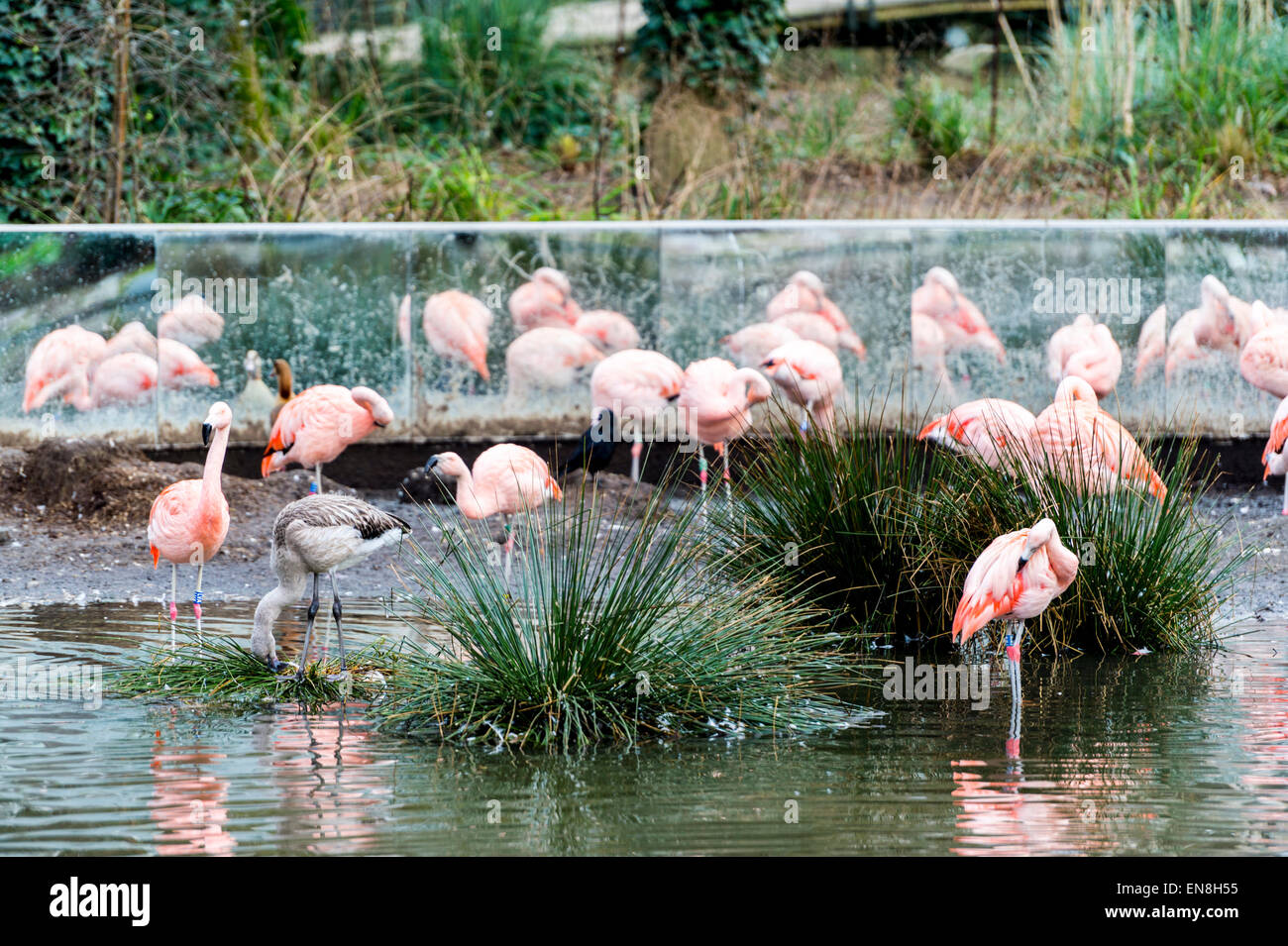 Pink flamingos in the Natura Artis Magistra zoo in central Amsterdam, the Netherlands - Stock Image