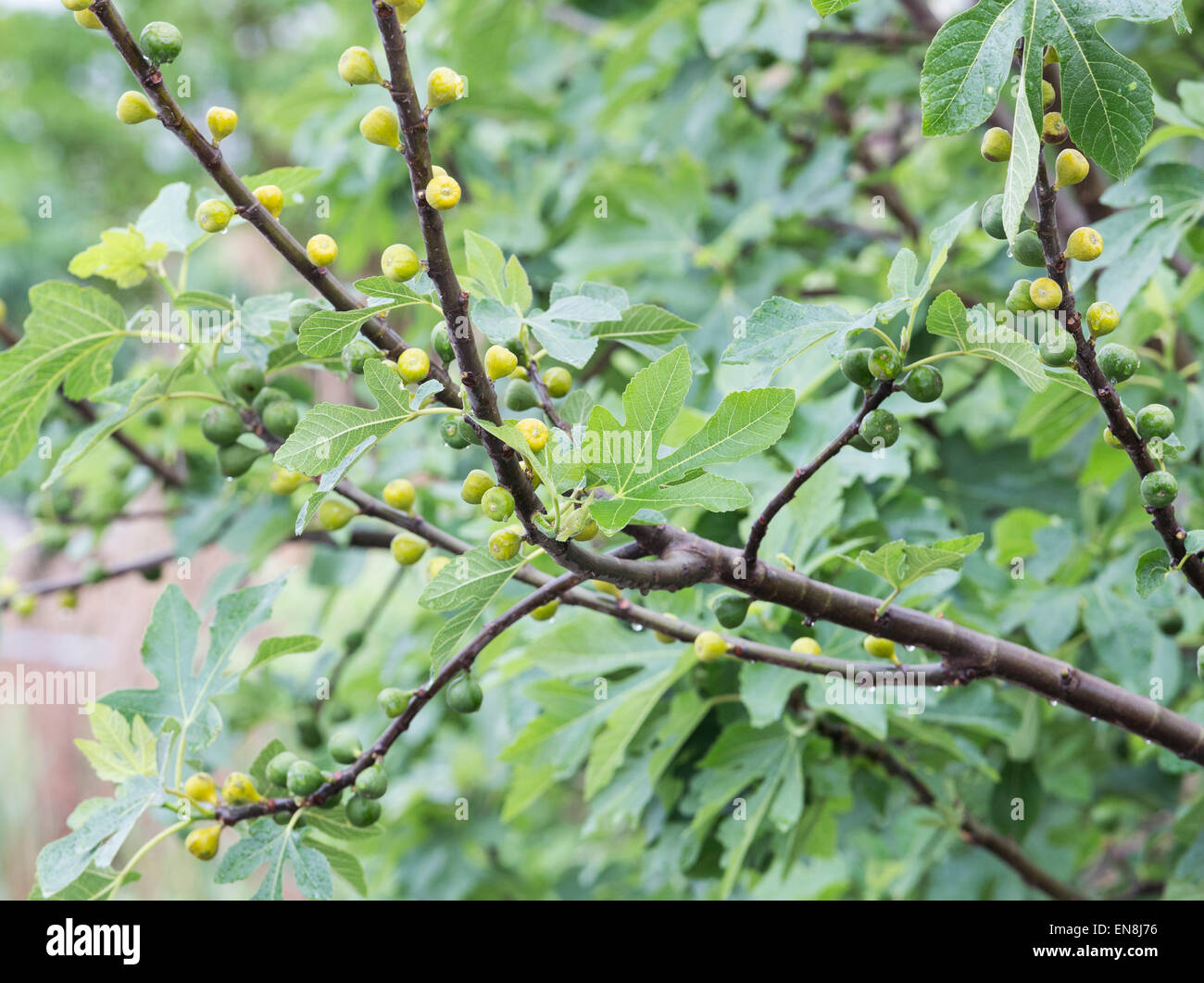 Fig tree with ripening fruits - Stock Image