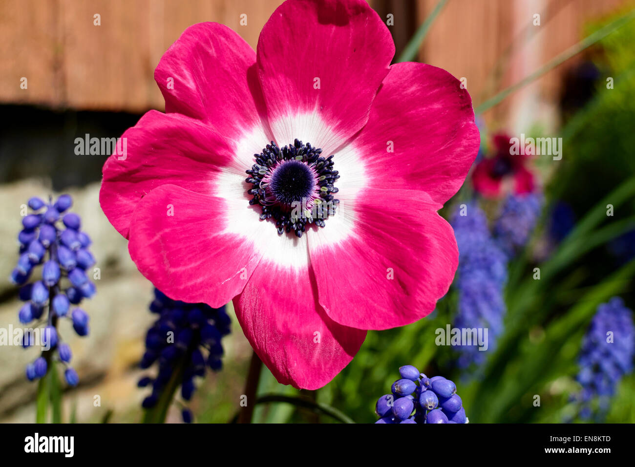 anemone mona lisa coronaria pink flower in a garden in the uk - Stock Image