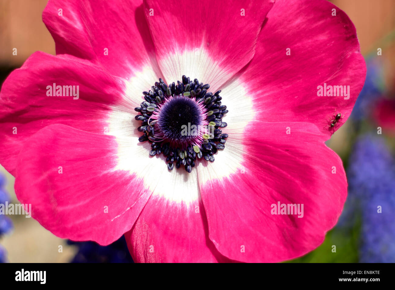 anemone mona lisa coronaria pink flower with insect in a garden in the uk - Stock Image