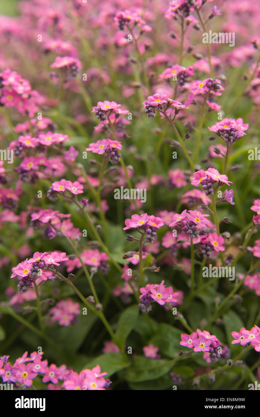 Single bunch of blooms of candy pink forget me not flowers against a single bunch of blooms of candy pink forget me not flowers against a sea of flowers as background mightylinksfo