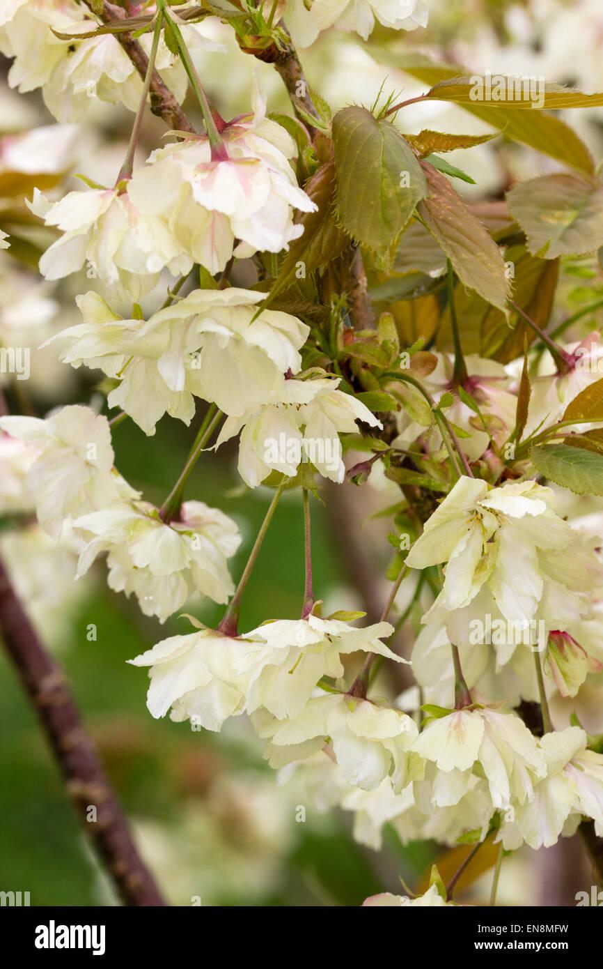 Spring blooms of the flowering cherry, Prunus 'Ukon' - Stock Image