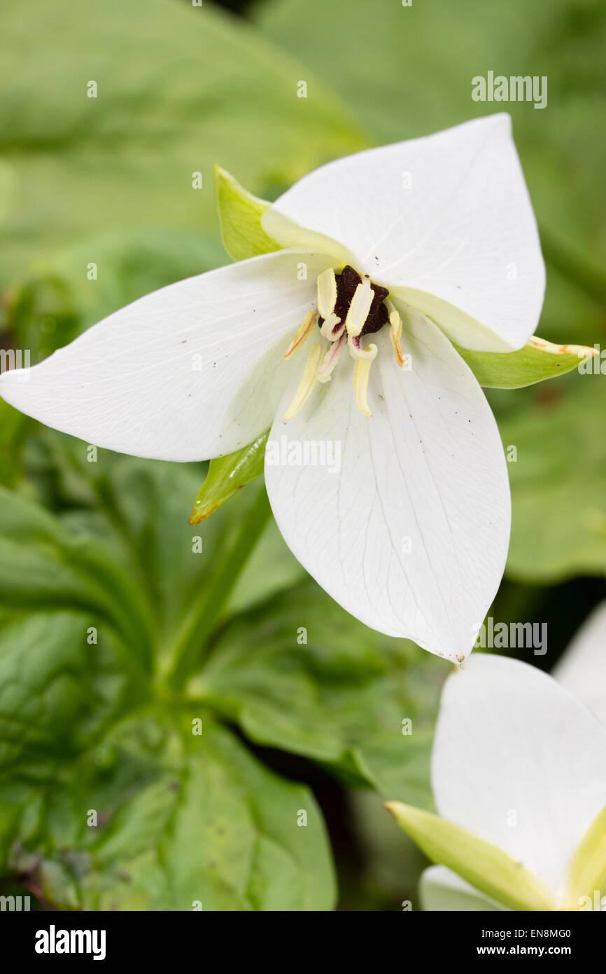 Single flower of the jeweled wake robin, Trillium simile - Stock Image