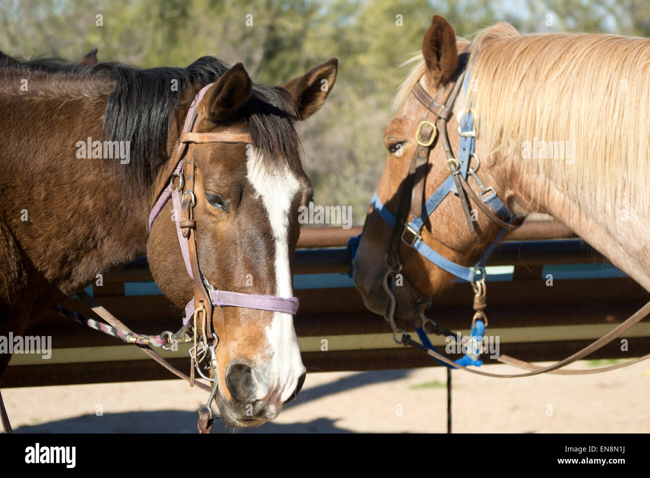 Two horses saddled and ready for a trail ride in the southwestern desert - Stock Image