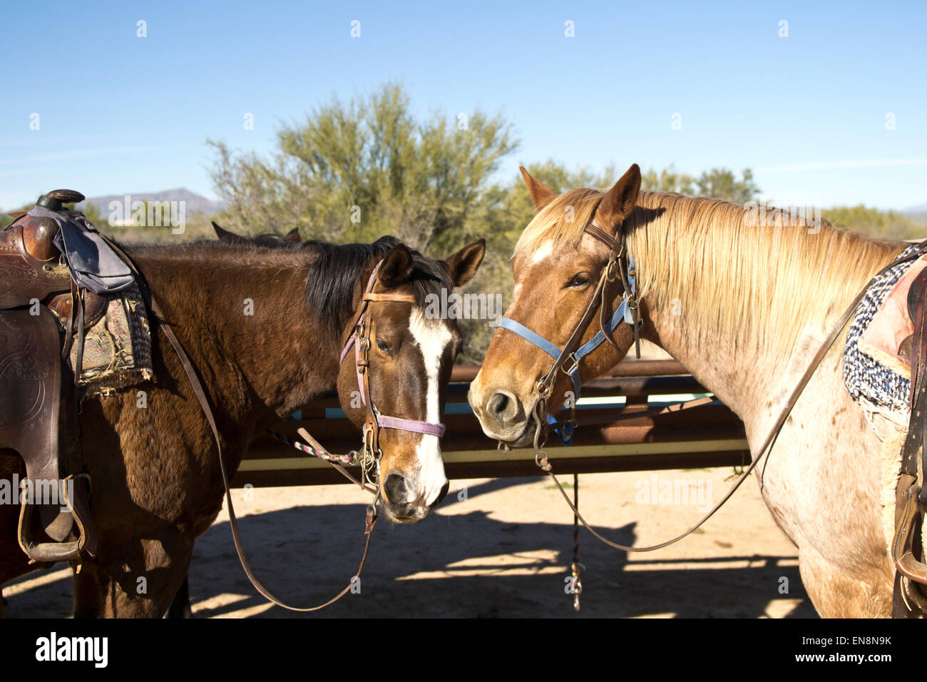 Two horses stand saddled ready for a trail ride. - Stock Image