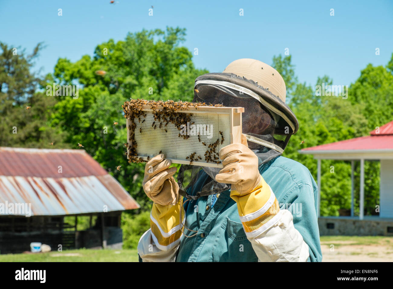Beekeeper inspecting frames of a Langstroth bee hive as he