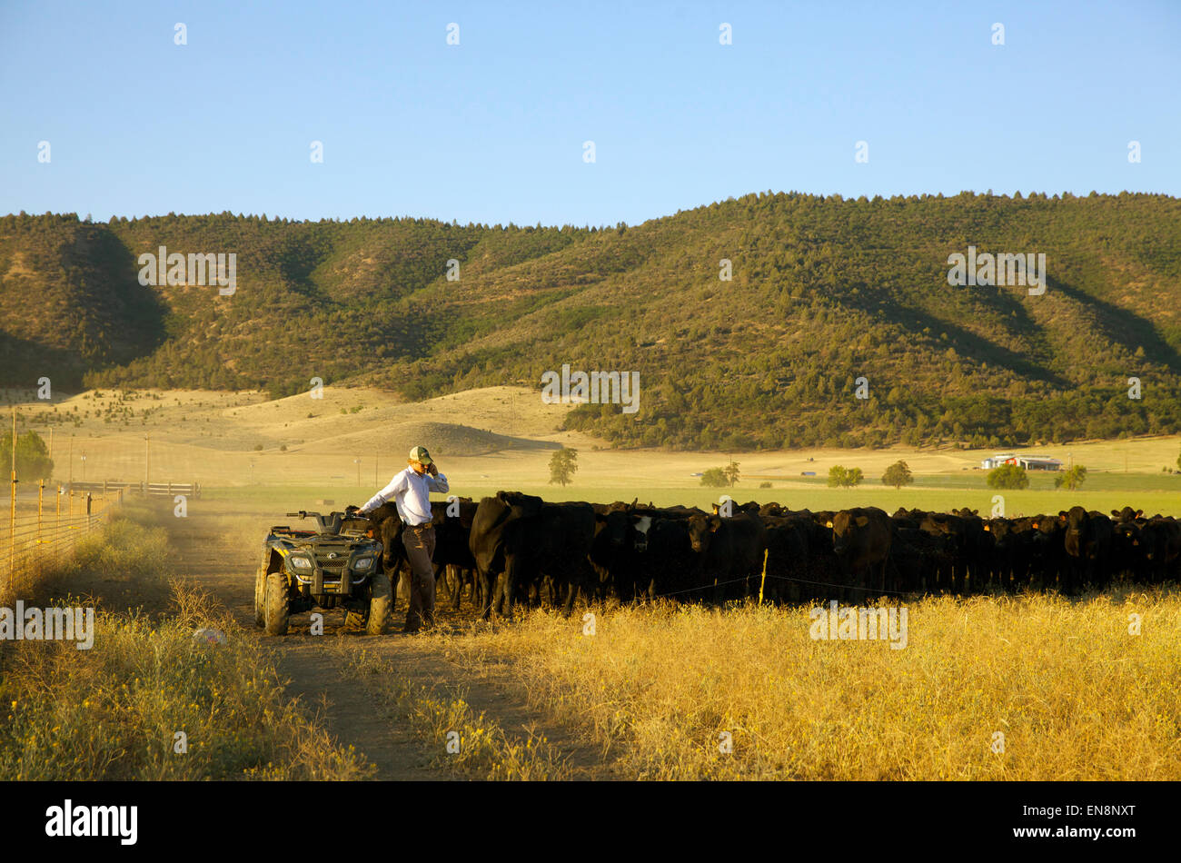 A cowboy makes a phone call while he moves a heard of cattle from one field to the next. - Stock Image