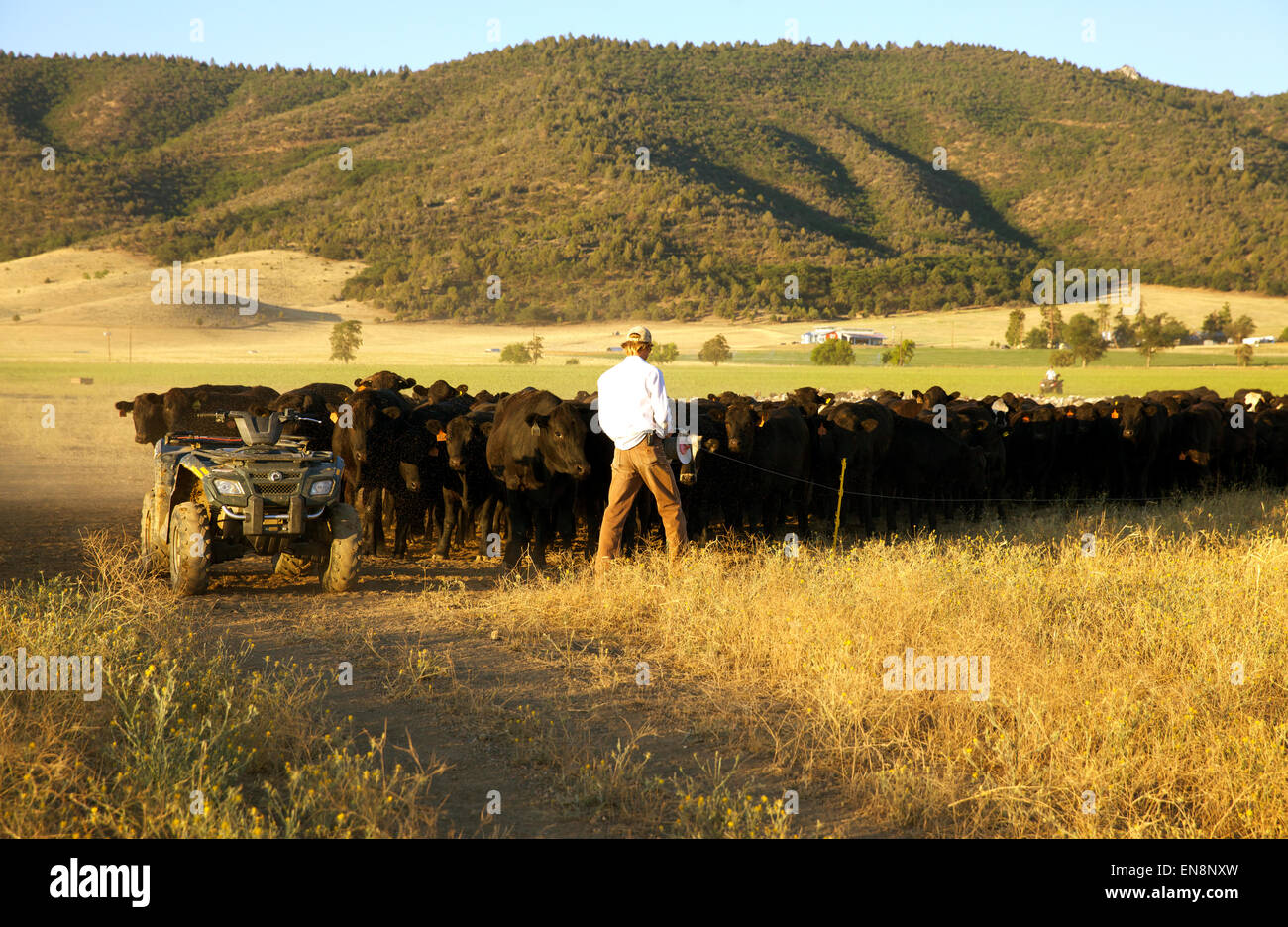 A cowboy moves a heard of cattle from one field to the next. - Stock Image