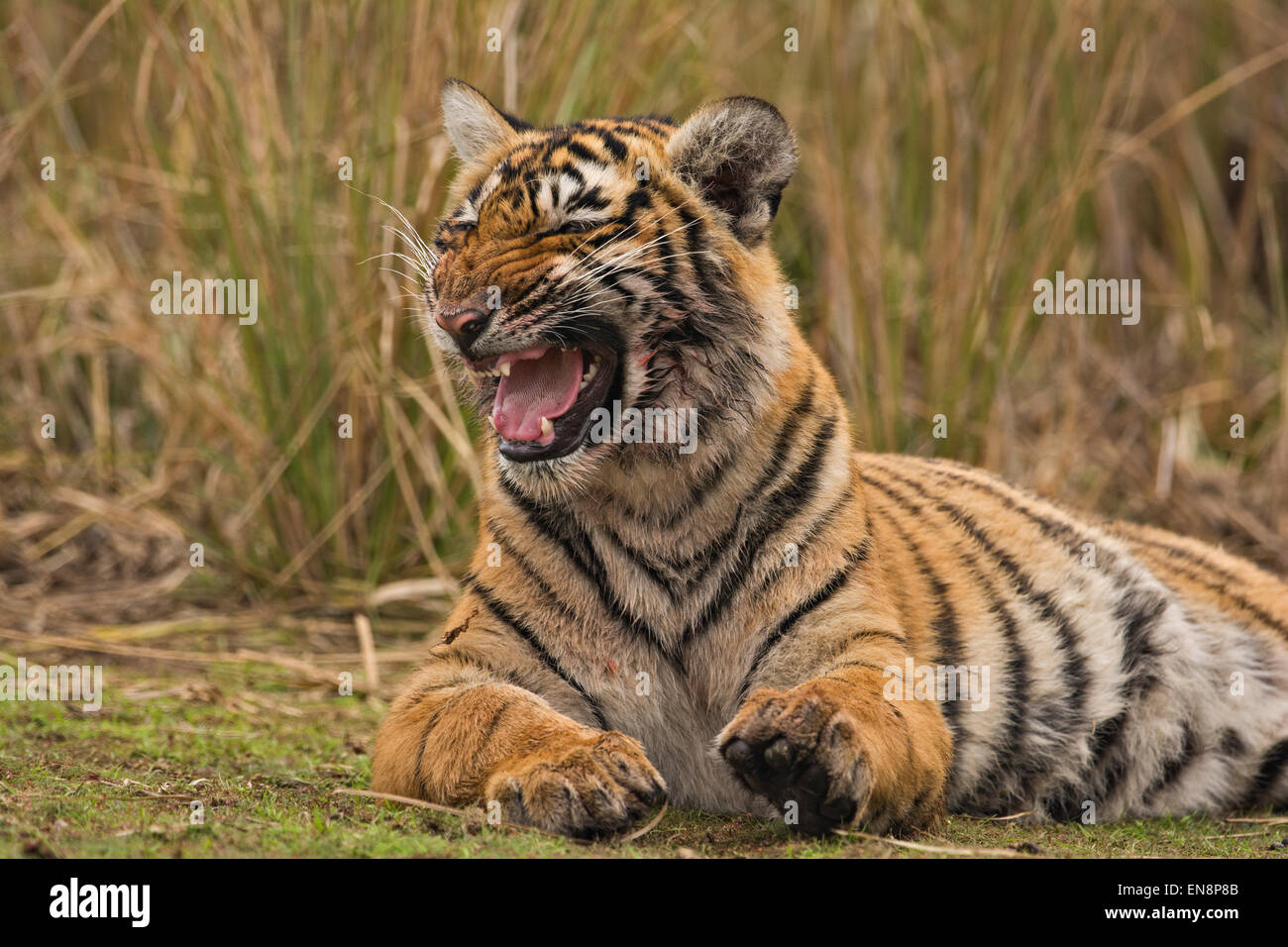 Sub adult tiger resting on a grassy patch of ground in Ranthambhore - Stock Image