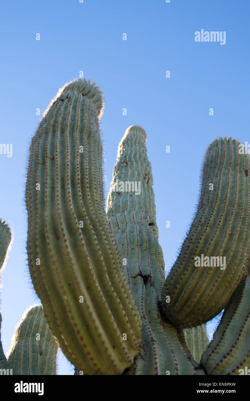 A cactus reaches into the blue sky of the southwestern desert - Stock Image