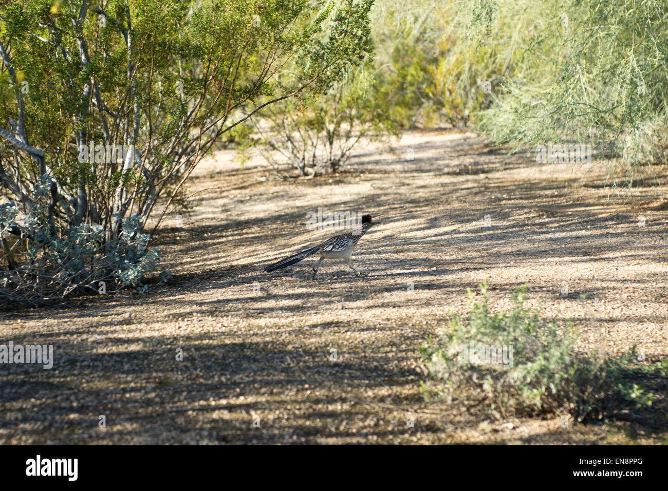 A roadrunner in the southwestern desert - Stock Image