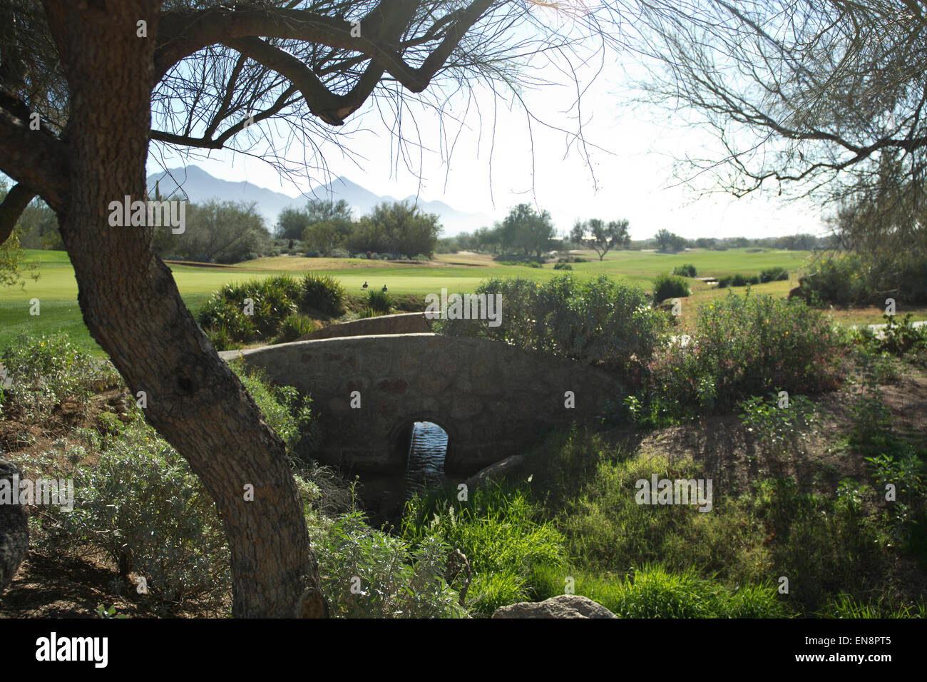 A bridge sets the scene under a mighty tree and ducks enjoying the day on a southwestern golf course - Stock Image
