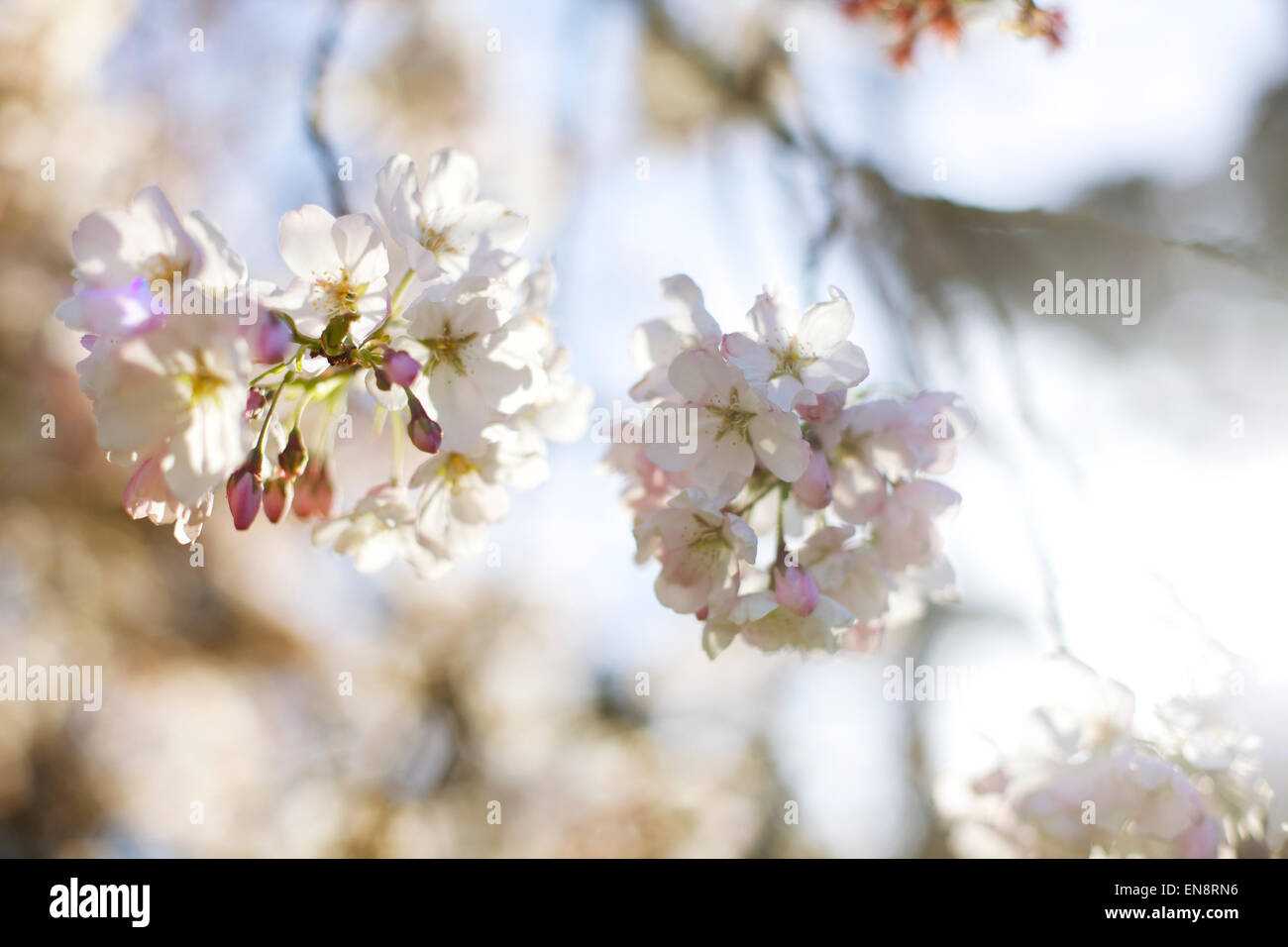 Looking up at pink and white cherry blossom flowers against the sky in the spring time. Stock Photo
